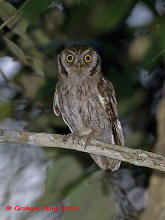 Tropical Screech Owl,  Autillo Chóliba,  Megascops choliba | by Graham Ekins