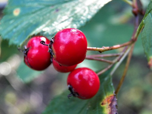 Berries | by Chris Sorge