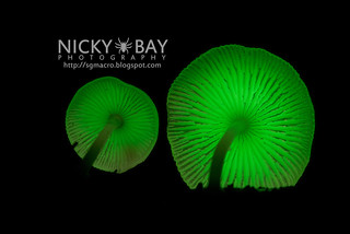 Bioluminescent Fungi (Mycena illuminans) - DSC_7990