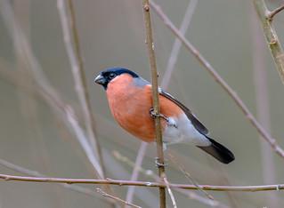 Bullfinch, Male-