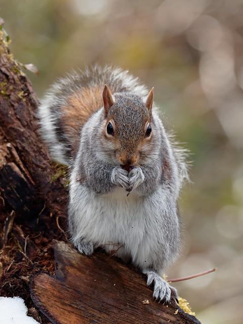Grey Squirrel at Titchfield Haven
