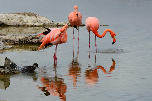 Красный фламинго, Phoenicopterus ruber, American (Caribbean) Flamingo   by Oleg Nomad