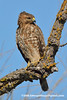 Western Red-shouldered Hawk (Buteo lineatus elegans), juvenile DSC_6648 by fotosynthesys