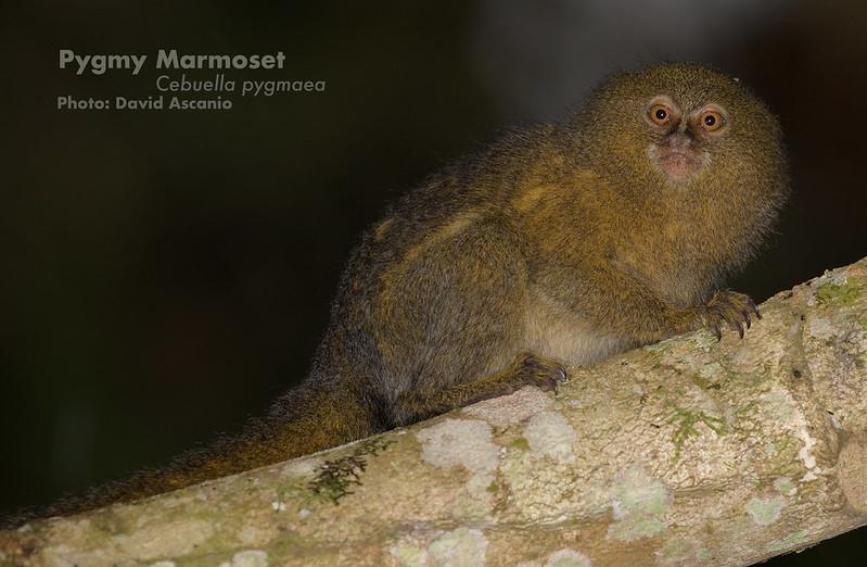 Pygmy Marmoset, Cebuella pygmaea_Ascanio_199A7077