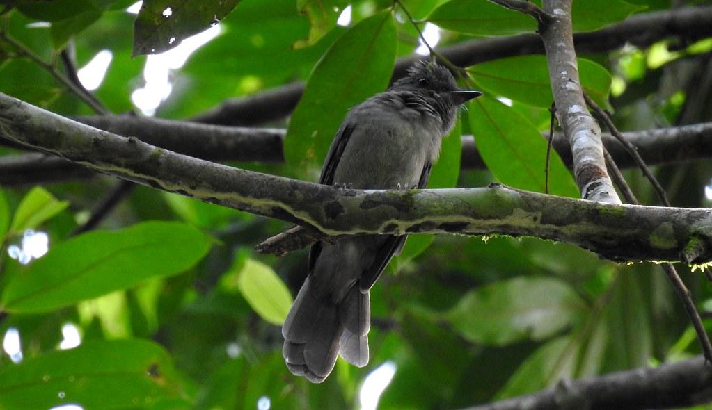 Grayish Mourner / Plañidero Grisáceo (Rhytipterna simplex) en el río Madre de Dios