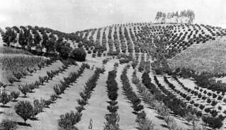 Orange groves in Southern California