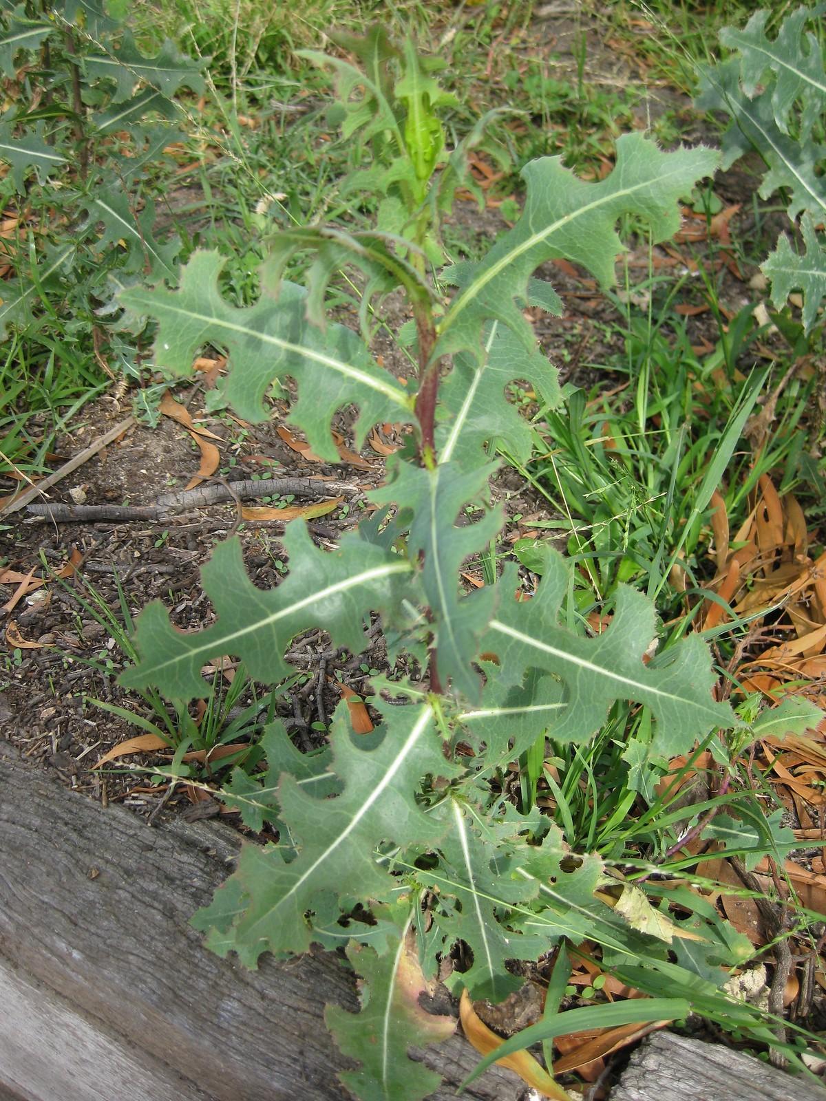 wild lettuce (Lactuca serriola) too old to eat