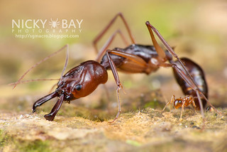Trap-jaw Ant (Odontomachus sp.) - DSC_2924