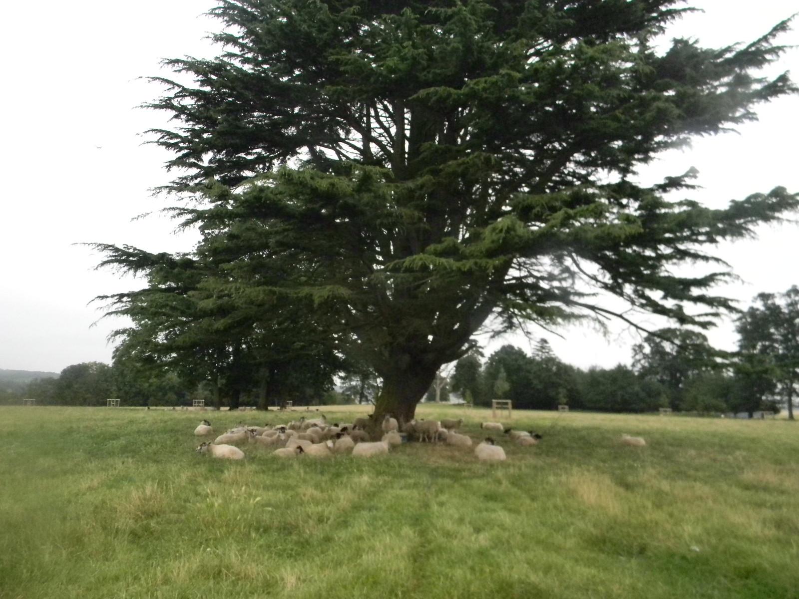 Sheep under a tree Henley via Stonor
