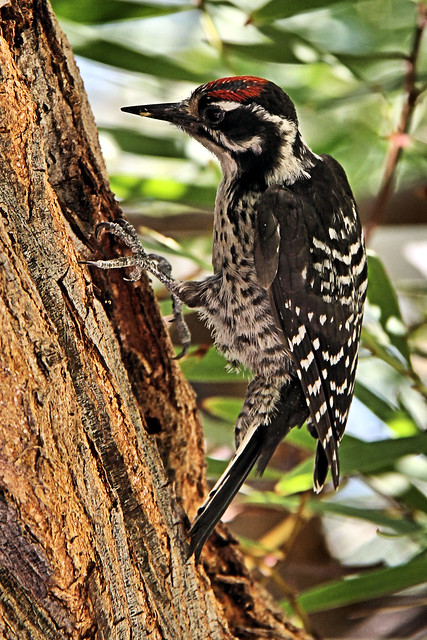 Nuttall's woodpecker.