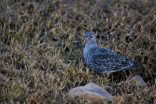 Purple Sandpiper | by Clare Kines Photography
