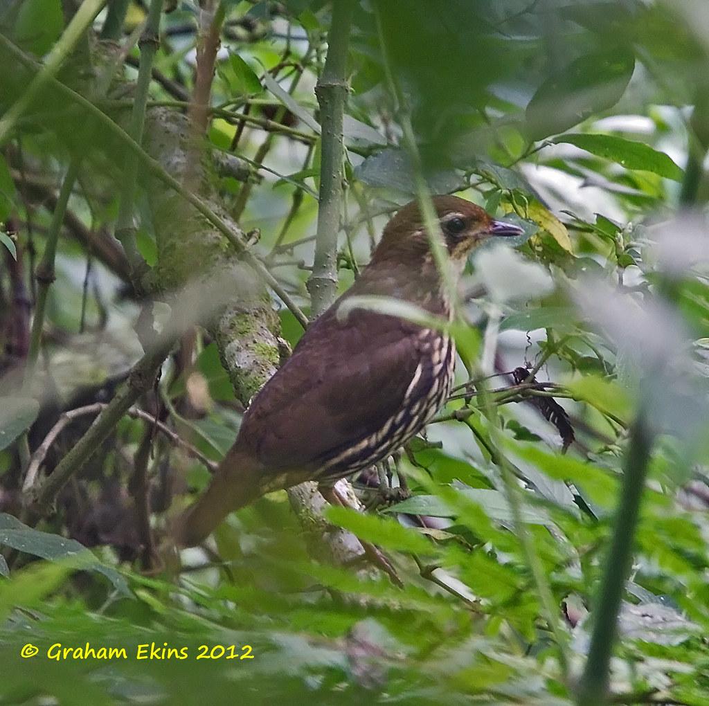 Short-tailed Antthrush,    Tovacá Colicorto,    Chamaeza campanisona