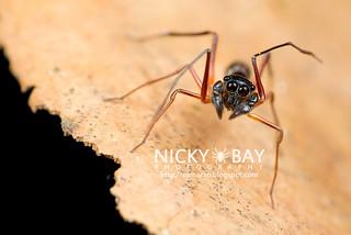 Peanut Ant-Mimic Jumper (Agorius sp.) - DSC_8546