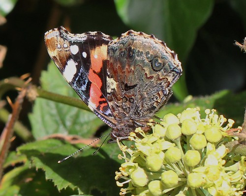 Red admiral | by CaroleAnnG