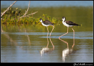 Black necked Stilt_Viuda_Himantopus mexicanus | by Gloria Archilla