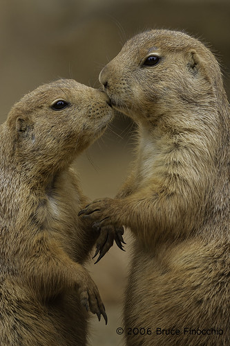 Prairie Dogs Show Affection | by brucefinocchio