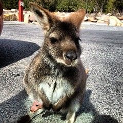Momma wallaby and her baby came right up to me when I opened the car door!