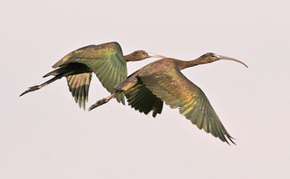 Glossy Ibis - Leneghans  - Dec 23 2006 011 | by Friends of Chiltern Mt Pilot National Park