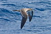 011058-IMG_6918 Wedge-tailed Shearwater (Ardenna pacifica) by ajmatthehiddenhouse