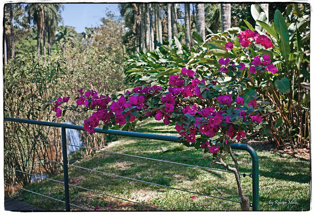 The fence and the Bougainvillea