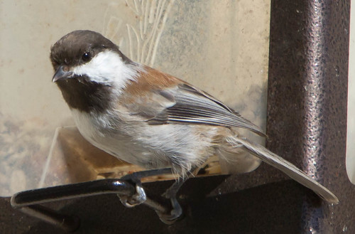 Chestnut-backed Chickadee | by Pets4Dawn