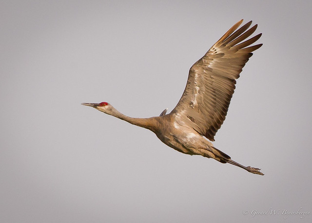 Greater Sandhill Crane