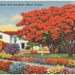 Royal Poinciana tree and home, Miami, Florida