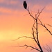 Great Horned Owl at sunset by Deb Whitecotton