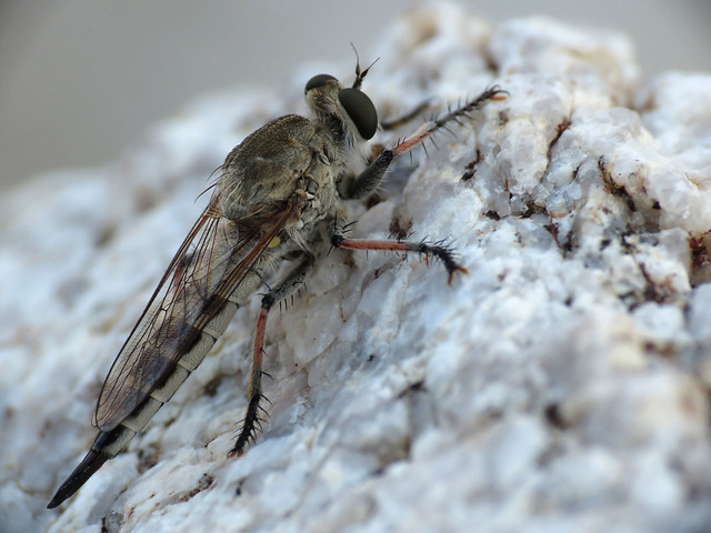Robber Fly Female