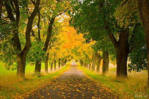 autumn alley höst färger uppland allé höstlöv skepptuna