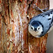 <p>He certainly sees me...what a cool shot :)<br /> <br /> White Breasted Nuthatch</p>