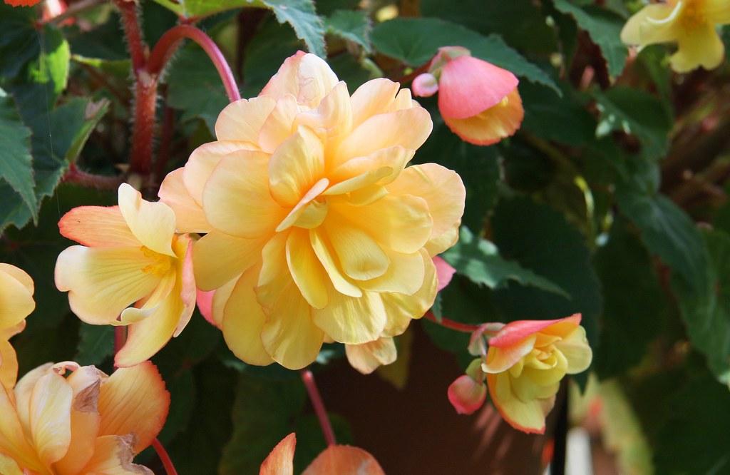 Knollenbegonie (Begonia × tuberhybrida)