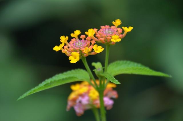 Flower (DSC_3184)
