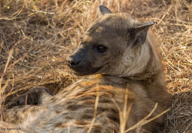 Spotted Hyena (Crocuta crocuta) (WilLife) (em liberdade)