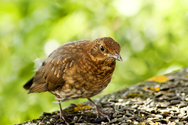 Young Black Bird 23rd-August-12