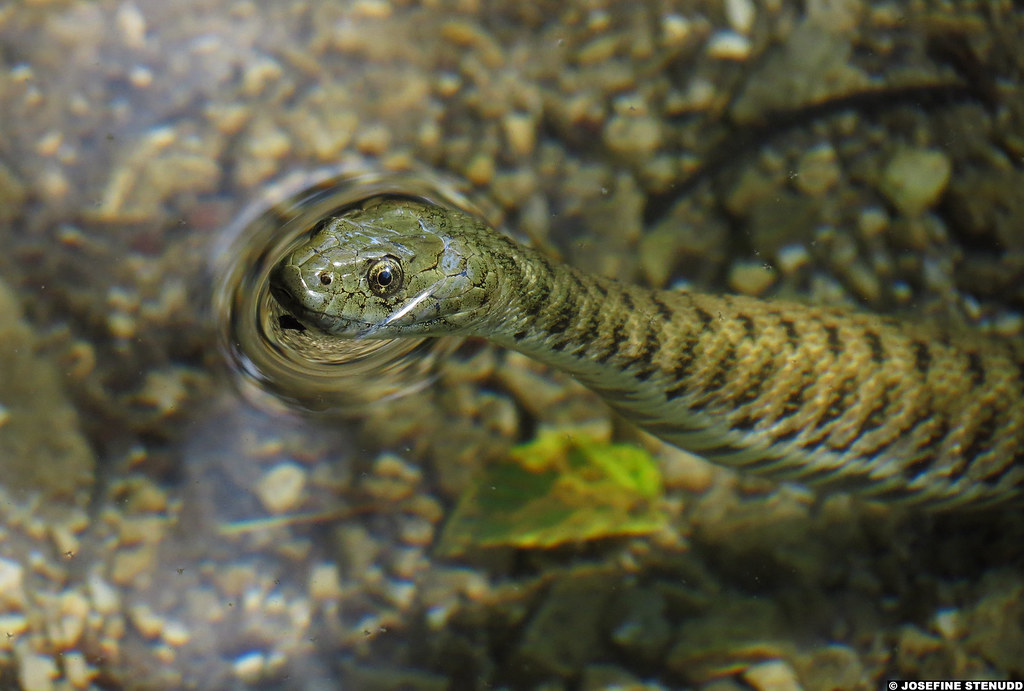 20120605_36k Cute dice snake (Natrix tessellata) looking out of the water! :D | Plitvice Lakes National Park, Croatia