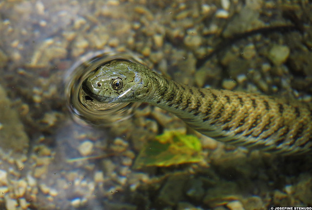 20120605_36m Cute dice snake (Natrix tessellata) looking out of the water! :D | Plitvice Lakes National Park, Croatia