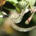 Mountain Mahogany Seed