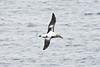 010004-IMG_8049 Short-tailed Albatross (Phoebastria albatrus) by ajmatthehiddenhouse