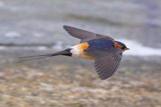 Red-rumped Swallow (Cecropis daurica) | by sussexbirder