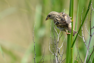 Moineau domestique - Passer domesticus | by Give the light a chance