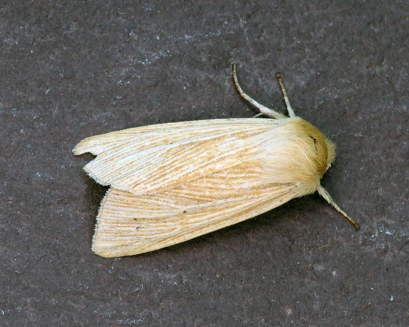 73.291 Common Wainscot - Mythimna pallens