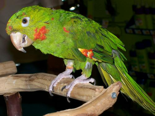 Petrie - Hybrid Conure | Petrie is a hybrid conure of unknow