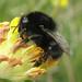 Bombus ruderarius (Red-shanked Carder-bee)