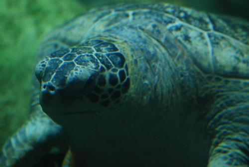 Sea Turtles @ Sea World | by tammylo