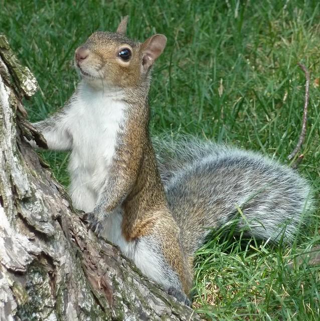 Chicago, Gray Squirrel