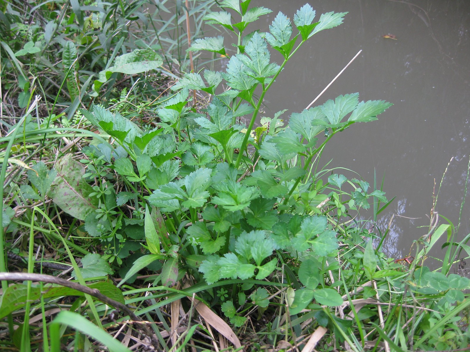 wild celery (Apium graveolens)