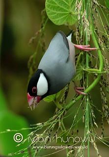 Padda orizyvora | by Burung Sulawesi (Birds of Sulawesi)