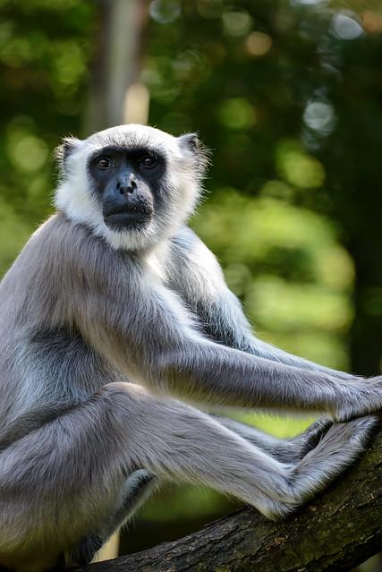 Gray langur or Hanuman langur