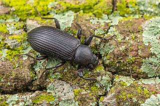 Darkling beetle (Derospherus sp.) - DSC_1421